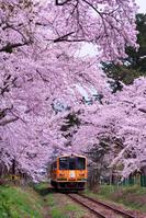 青森県 芦野公園の桜