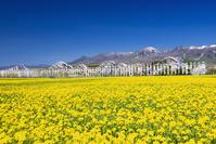栃木県 菜の花畑