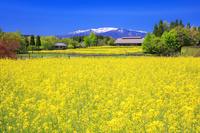 宮城県 菜の花と民家と蔵王連峰 国営みちのく杜の湖畔公園