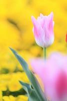 静岡県 チューリップの花