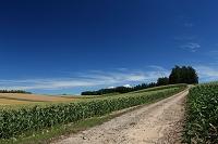 北海道 トウモロコシ畑