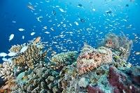 モルディブ 海中 擬態するオニカサゴ