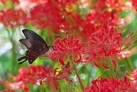 岐阜県 やすらぎの林 彼岸花とカラスアゲハ蝶