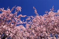 爛漫の桜に青空