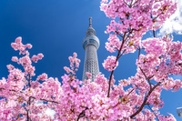 東京都 河津桜と東京スカイツリー