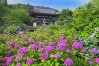 京都府 アジサイ咲く観音寺