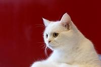 猫 スコティッシュフォールド