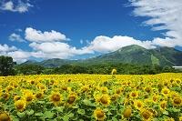 北海道 ヒマワリとニセコ連峰と雲
