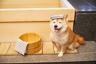 温泉に入る豆柴犬