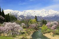 長野県 大出公園の桜と白馬連峰
