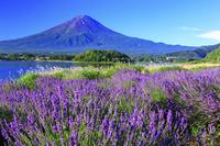 山梨県 富士山とラベンダー 大石公園
