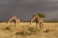 ケニア マサイマラ国立保護区 マサイキリン