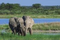 エトーシャ国立公園 アフリカゾウ