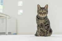 ペットの猫