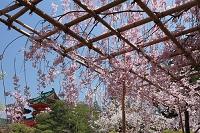 紅枝垂桜と白虎楼 (平安神宮) 洛東 京都