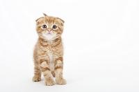 スコティッシュフォールド 立っている子猫