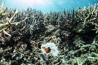 イソギンチャクの白化現象 西表島