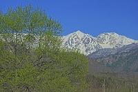 長野県 朝の白馬鑓ヶ岳左と杓子岳右の山