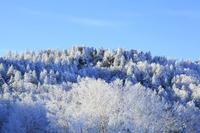 長野県 志賀高原 樹林の樹氷