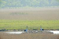 北海道 湿原で子育てするタンチョウ