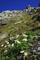 山梨県 北岳トラバース道から見たキタダケソウの花畑