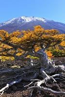 山梨県 冠雪した富士山とハイマツ黄葉