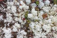 山梨県 富士山の砂礫に自生するミヤマハナゴケ