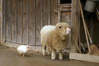 アメリカ 羊とアヒル
