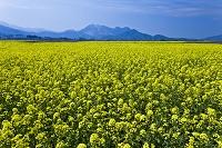 長野県 菜の花と高井富士