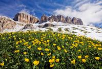 イタリア アルプス山脈 咲くキンポウゲ