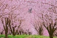 福島県 サクラ並木