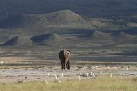 ケニヤ アンボセリ国立保護区 ゾウ山に帰る