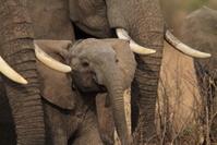 ケニヤ アンボセリ国立保護区 ゾウの群れ