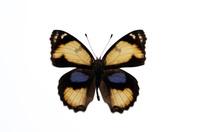 蝶 標本 アオアゲハ