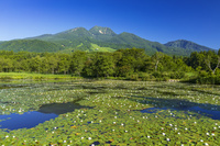 新潟県 いもり池とスイレン