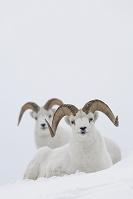 カナダ 羊