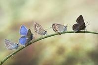 一列に並ぶ蝶