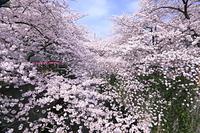 東京都 目黒川の桜並木