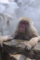 温泉に入るニホンザル 地獄谷野猿公苑