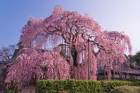 山梨県 天龍山慈雲寺の樹齢300年超えのイトザクラと本堂
