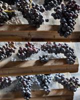 イタリア ロンバルディア州  葡萄