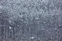 京都府 雪降る北山杉の森