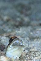 インドネシア 卵を孵化させるジョーフィッシュ デラワン島