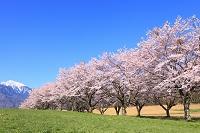 山梨県 蕪桜並木と南アルプス甲斐駒ケ岳