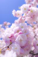 滋賀県 琵琶湖 菅浦の桜