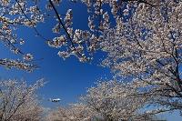 ボーイング767と満開の桜 ANA