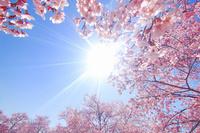 長野県 上田市 桜(サツマベニ)と太陽の光芒