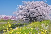 山形県 馬渡の桜並木