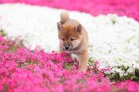 柴犬と芝桜