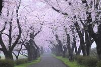 岩手県 北上市 北上展勝地 桜並木